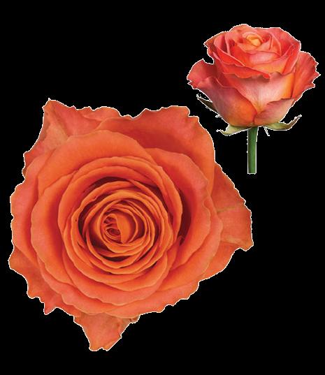 Ruža Clarence oranžová