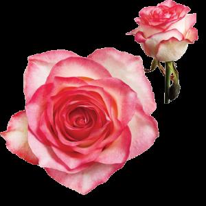 Ruža Jumilia ružovo-biela