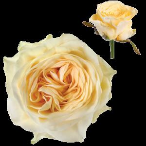 Ruža Buttercup žltá