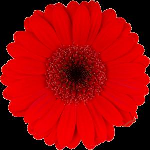 Gerbera Suri červená