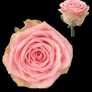 Ruža Sophia Loren ružová