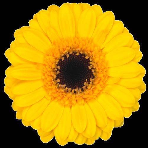 Gerbera Delmonte žltá
