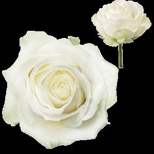 Biela ruža Avalanche