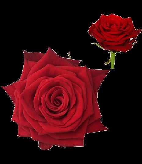 Červená ruža Con Amore