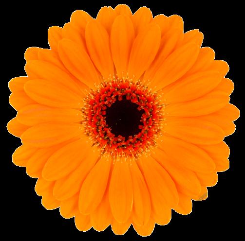 Gerbera Allure oranžová